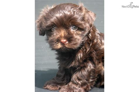 havanese puppies buffalo ny akc chocolate havanese puppy for sale near buffalo new
