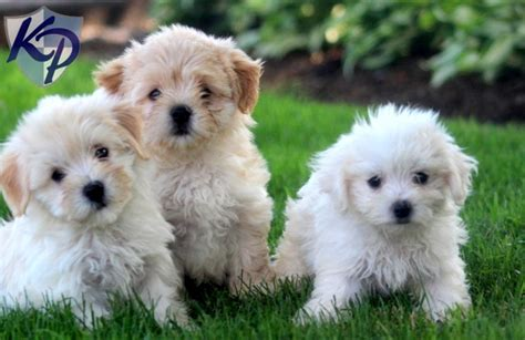 havanese cost puppy havanese puppies cost 21 free hd wallpaper dogbreedswallpapers