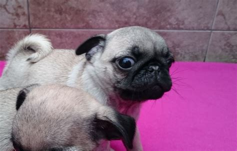 pugs available 2 tiny fawn pugs available ashton lyne greater manchester pets4homes