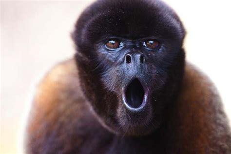Woolly Monkey | Animal Wildlife