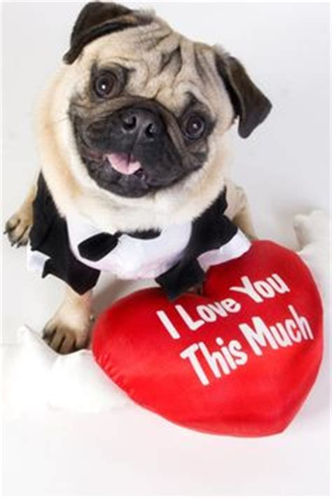 cutest pugs in the world cutest pug in the world pug