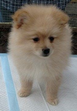 pomeranian puppies ma 25 best ideas about pomeranian puppies for sale on teacup pomeranian
