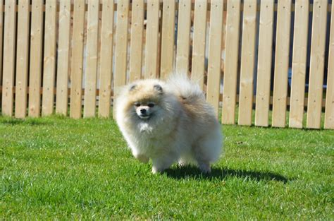 trudy s pomeranians pomperritos pomeranians trudy s secert mission at pomstyle