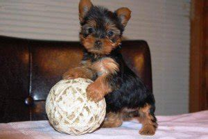 teacup yorkie adoption nyc adorable teacup yorkie puppies for free adoption wanted from auburn wa new york
