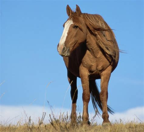 mustang horse facts about the free spirited and intelligent mustang horse