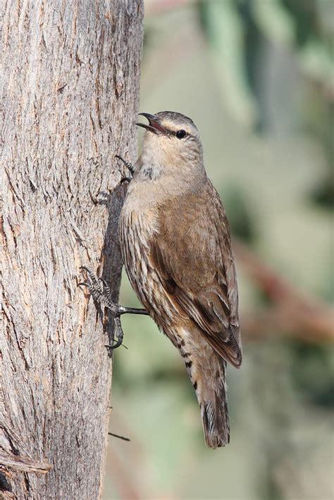 brown treecreeper wikipedia