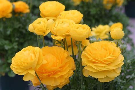 fiori ranuncoli ranuncolo ranunculus asiaticus ranunculus asiaticus