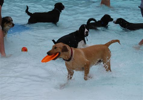 puppy pool dogs take a municipal swimming pool dangerous intersection