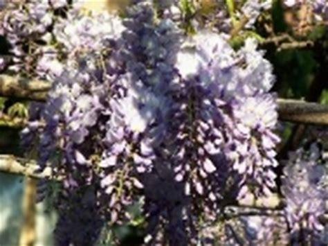perchè il glicine non fiorisce glicine wisteria wisteria ricanti glicine