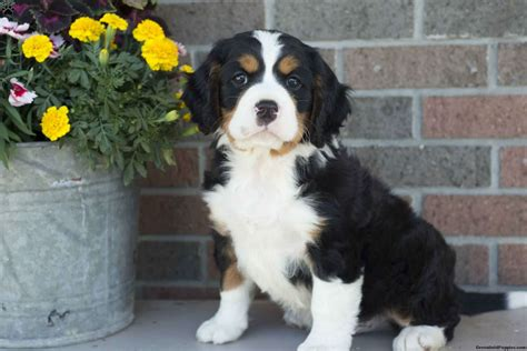bernese mountain puppies ohio bernese mountain dogs for sale in sugarcreek ohio dogs breed sierramichelsslettvet