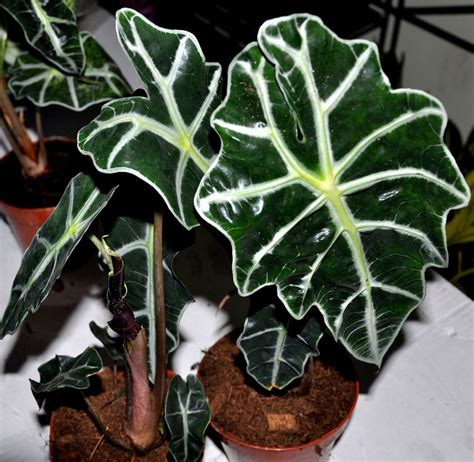 hawaiian house plants tropical house plants for indoor use