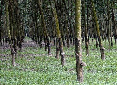 Karet Di Riau Sejarah Perkebunan Karet Riau Agrobisnis