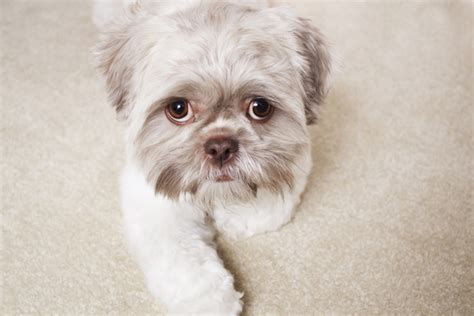 food for shih tzu shih tzu foods to avoid 26 free hd wallpaper dogbreedswallpapers