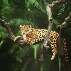 Jaguar Rainforest Facts The Gallery For Gt Tropical Rainforest Jaguar