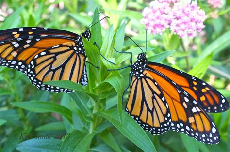 monarch butterfly how exactly is monsanto s roundup ravaging the monarch