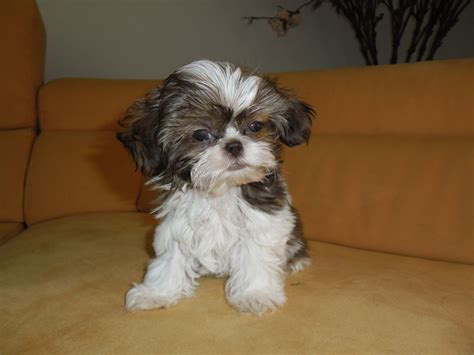 shih tzu breeders in virginia beautiful kc reg usa imp imperial shih tzu puppy wadhurst east sussex pets4homes