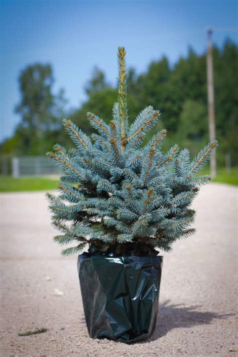 best rated fresh trees delivered to home estplant the producer of trees in the baltic countries