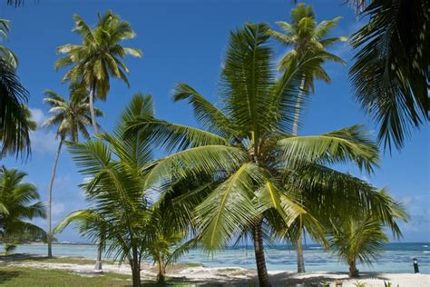Uses Of The Coconut Palm by From Roots To Leaves Medicinal Uses For 7 Parts Products
