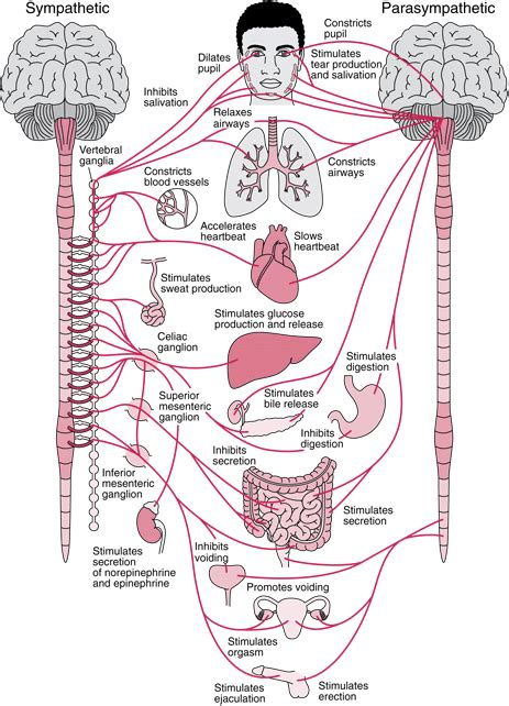anatomy coloring book reproductive system tag autonomic nervous system archives human anatomy charts