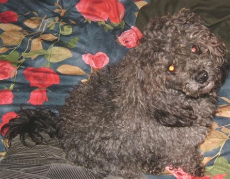 mastidoodle puppies for sale maltese poodle puppies for sale in michigan