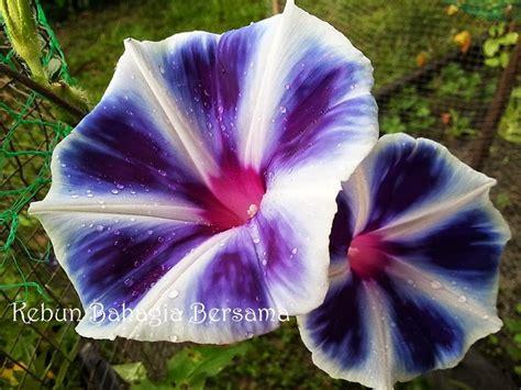 Box Bunga Jinjing Seri 5 kebun bahagia bersama ipomoea bunga seri pagi family