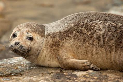 Seehund Arktis - Polar-Lexikon - Polar-Kreuzfahrten.de Seehund