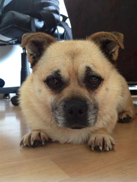 pug rescue centres in uk pugsie 3 yrs pug x corgi bristol bristol bristol pets4homes