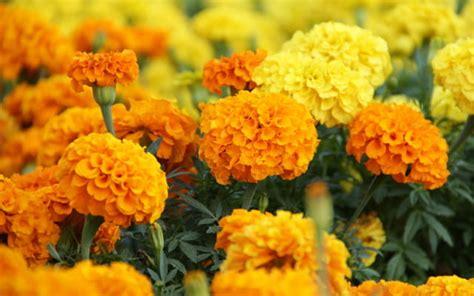 harga bibit tanaman hias bunga  hemat mulai