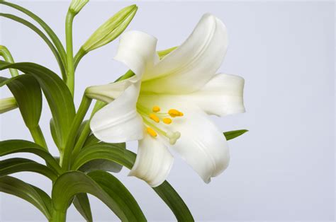 can easter lilies be planted outside easter care tips planting easter lilies petal talk