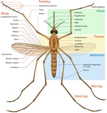 mosquito: structure & life cycle   study.com