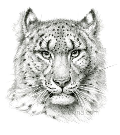 snow leopard sketch portrait by sschukina on deviantart