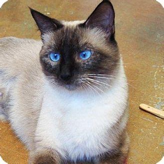 siamese kittens in joplin mo siamese cat for adoption in denver colorado janis joplin