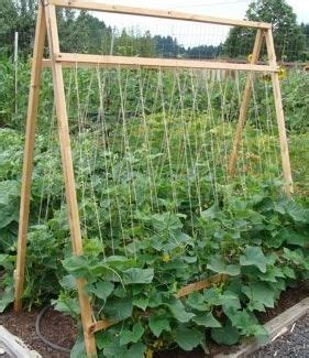 five reasons to grow cucumbers on a trellis (and taking up