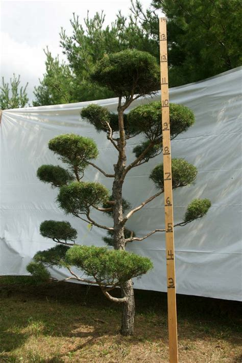 scotch pine topiary 187 scotch pine topiary tree 137 plants beautiful nursery