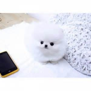 pomeranian puppies for sale sc pets columbia sc free classified ads