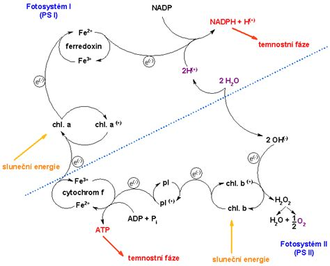 Light Reactions Of Photosynthesis by File Photosynthesis Light Reactions Png