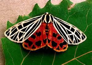 virgin tiger moth grammia virgo bugguide net