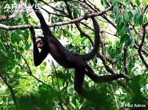 pictures of monkeys swinging in trees white whiskered spider monkey photo ateles marginatus