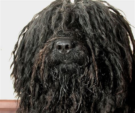 dogs with dreads 10 of the strangest looking dogs reflections