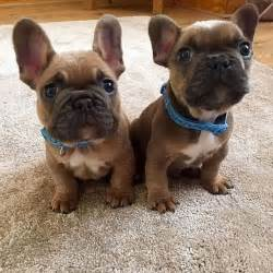 frenchie puppy 17 b 228 sta id 233 er om fransk bulldogg valpar p 229