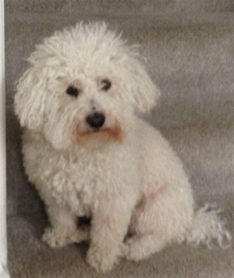 bichon frise puppies for adoption frank 4 year bichon frise for adoption