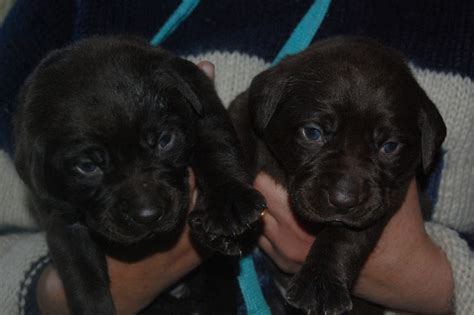 labrador puppies for sale bay area chocolate labrador puppies for sale breeds info breeds picture