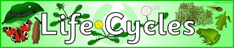 biography banner ks2 life cycles primary teaching resources and printables