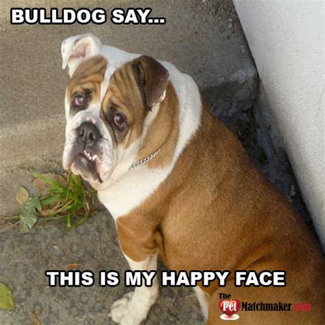 Bulldog Meme - english bulldog birthday memes pictures to pin on