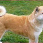 breeds with curly tails breeds with curly hair simple image gallery