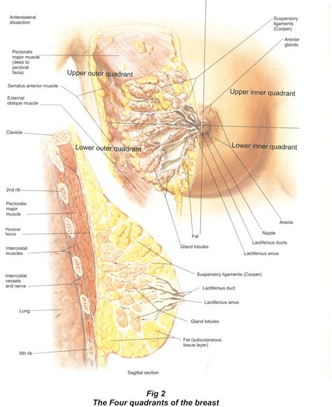 self breast diagram breast cancer clinical anatomy and breast self
