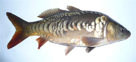 Bibit Lele Gelondongan jenis ikan bibit ikan lele