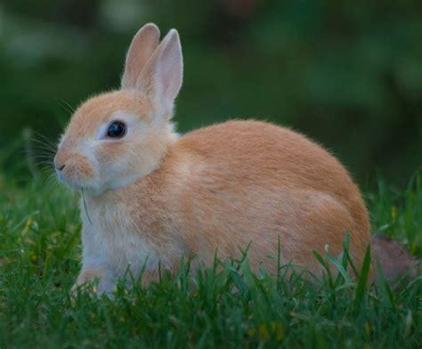 new year rabbit facts basic information sheet european rabbit lafebervet