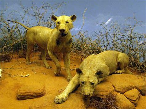 imagenes de leones asesinos 5 animales asesinos de humanos marcianos
