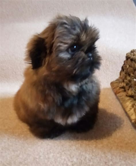 shih tzu show breeders show quality imperial shih tzu hengoed caerphilly pets4homes